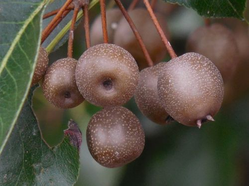 ornamental pear fruit