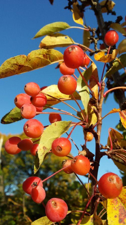 ornamental apple malus autumn