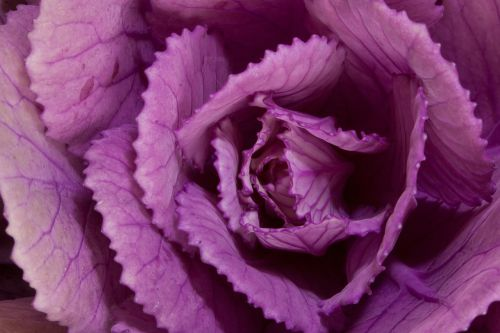 ornamental cabbage brassica oleracea cabbages
