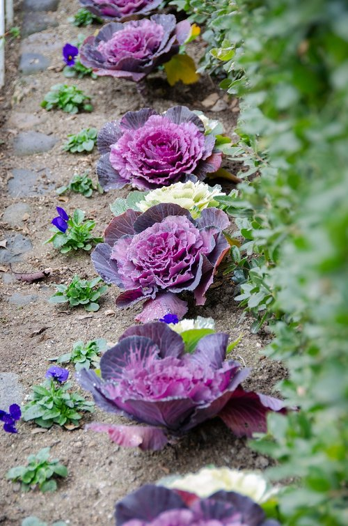 ornamental cabbage  flowering cabbage  plant