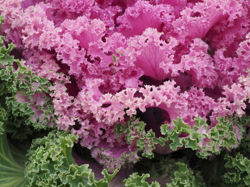 ornamental cabbage leaves kraus