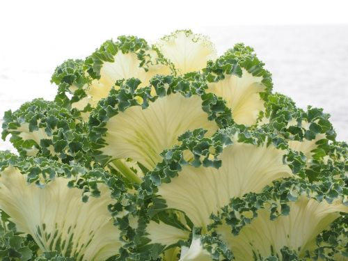 ornamental cabbage leaves detail