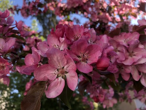 ornamental cherry  cherry  pink flower