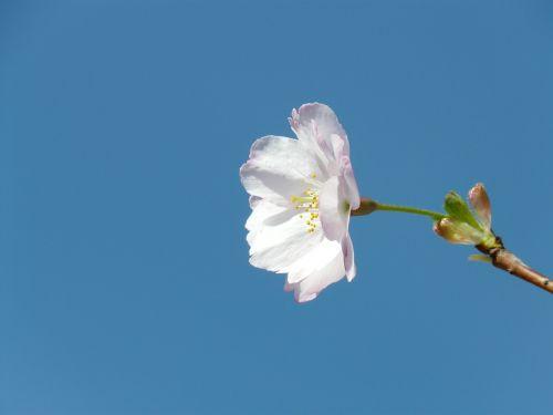 ornamental cherry blossom bloom