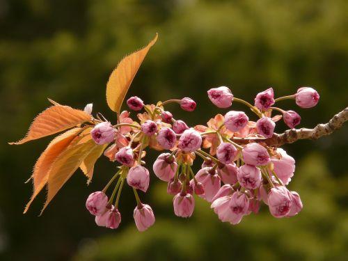 ornamental cherry flowering twig bud