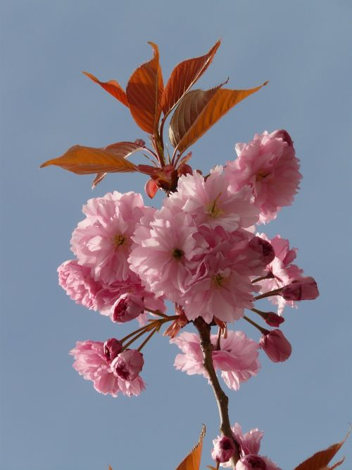 ornamental cherry flowering twig bud