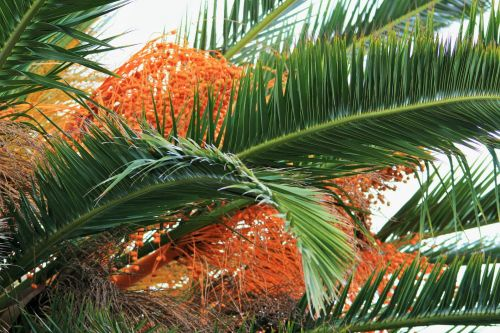 Ornamental Date Palm With  Fruit