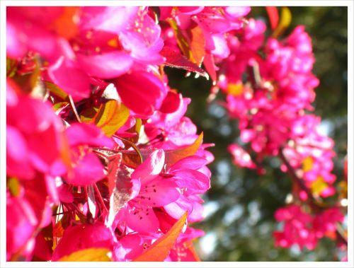 Ornamental Flowering Tree