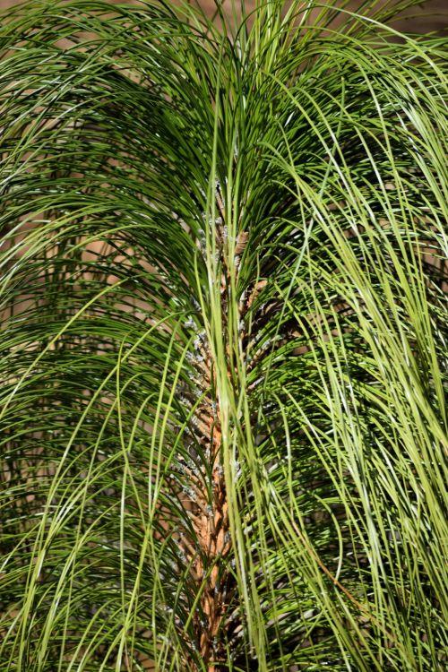 Ornamental Grass