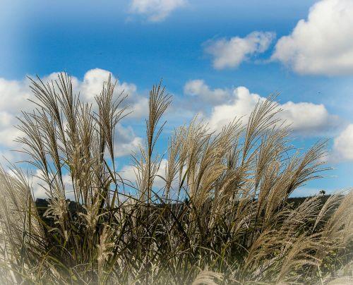 ornamental grass miscanthus huron decorative