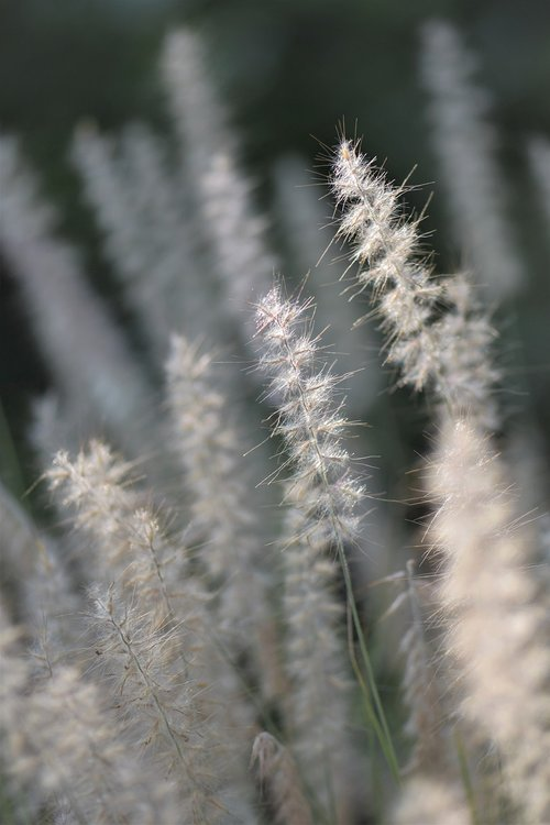 ornamental grasses  grasses  blade of grass
