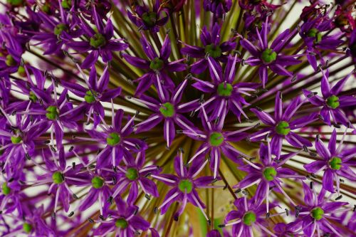 ornamental onion flower flowers