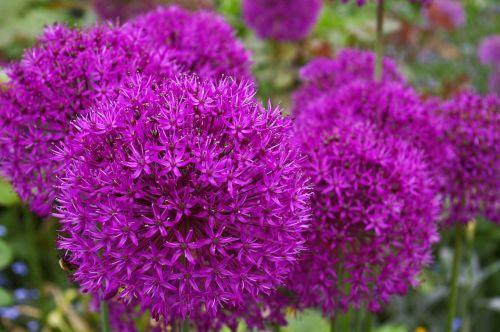 ornamental onion leek blossom