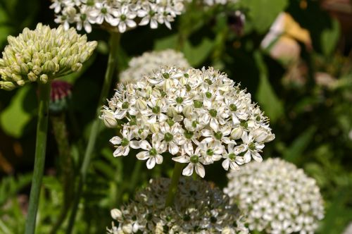 ornamental onion white zierlauch blossom