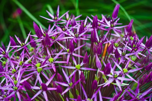 ornamental onion flower blossom