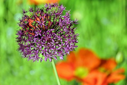 ornamental onion allium flower