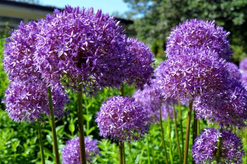 ornamental onion early violet