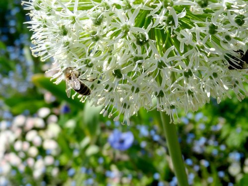 ornamental onion  allium karataviense  ivory queen