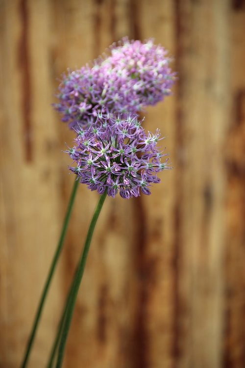ornamental onion  early  blossom