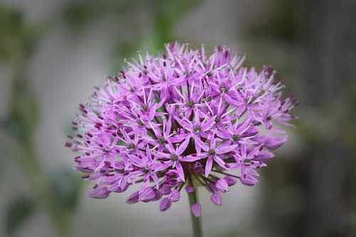 ornamental onion  allium  blossom