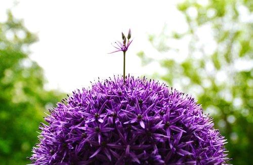 ornamental onion  flower  purple