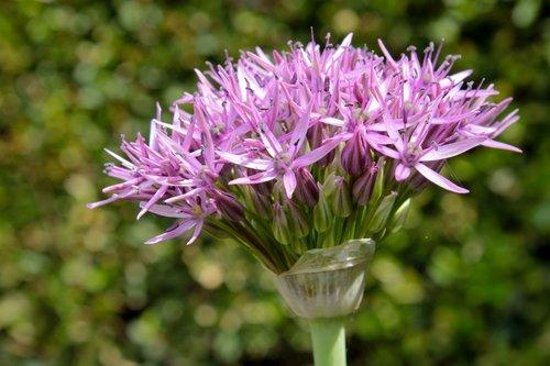 ornamental onion  allium stratos  allium