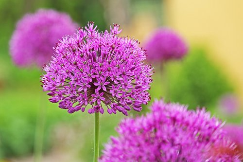 ornamental onion  ball  allium
