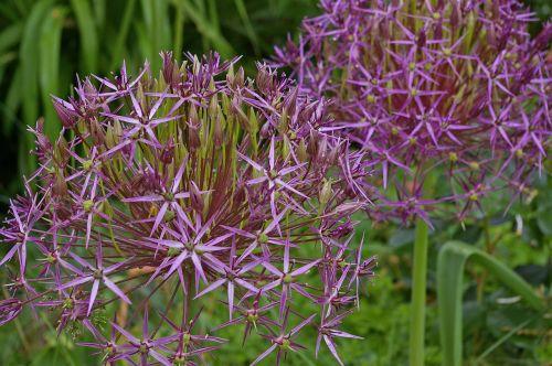 ornamental onion giant ornamental allium garden
