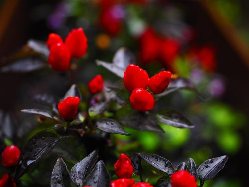 ornamental peppers fruits chili berry