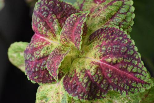 ornamental perilla colorful double leaf