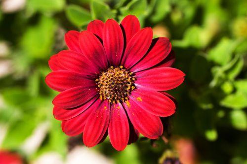dekoratyvinis augalas,gėlė,sodas,augalas,gamta,flora,vasara,makro,raudona,Uždaryti,šviesus,sodo augalas