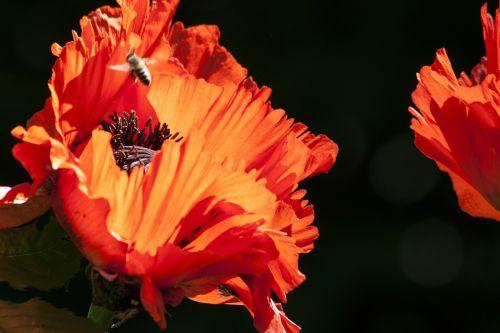ornamental poppies half rosette plant flower