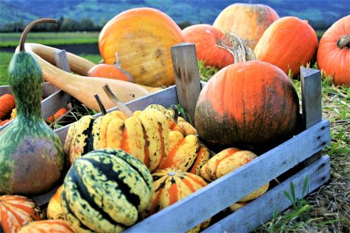 ornamental pumpkins vegetables autumn