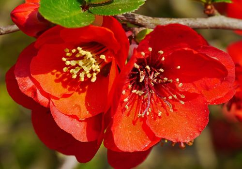 ornamental quince blossom bloom