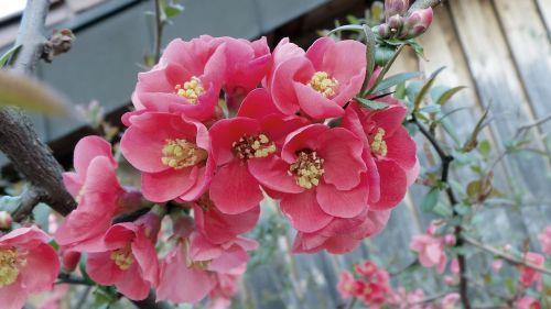 ornamental quince chaenomeles bush