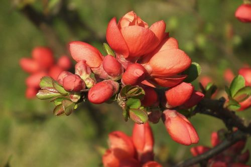 ornamental quince quince red