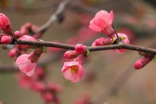 ornamental quince  flowers  bush