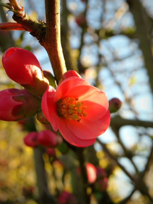 ornamental quince  bill quince  quince