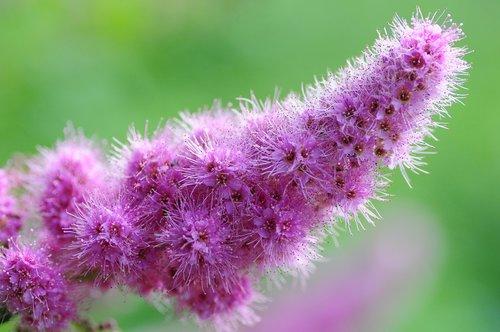 ornamental shrub  piston spiere  garden