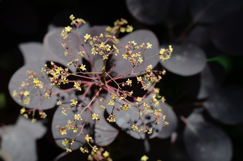 ornamental shrub  flowers  leaves