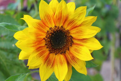 ornamental sunflower garden ornamental plant