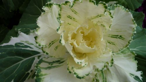ornamental vegetables leaves inside
