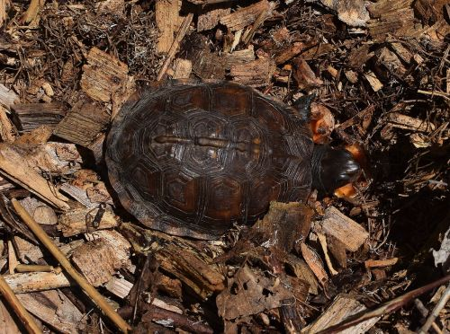 ornate box turtle in mulch top-down shell pattern