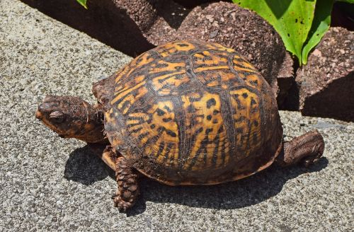 ornate box turtle on patio female dirt covered