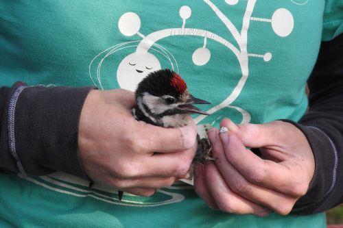 ornithology ringing of birds science