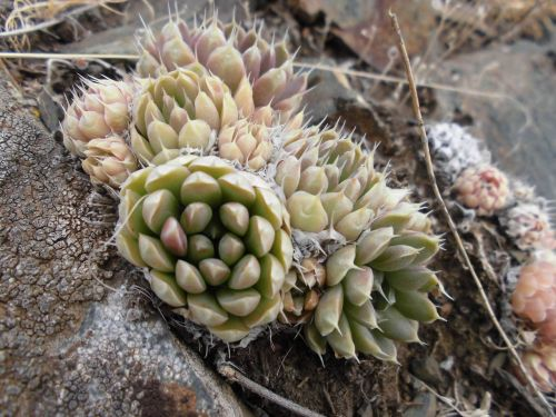 succulents orpine mountains