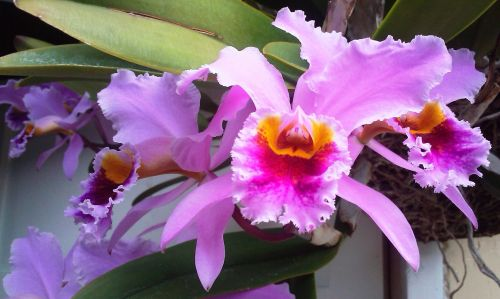 Orchid From Venezuela