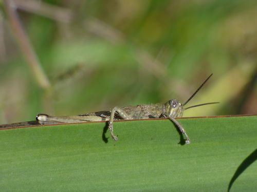 orthopteron grasshopper leaf