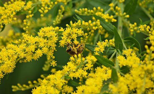 dalis,apdulkinimas,gamta,saulėtas,vabzdžiai,vasara,sodas,bičių,makro,žiedadulkės,žolė,gėlė,žydi,žalias,augmenija,geltona,nektaras