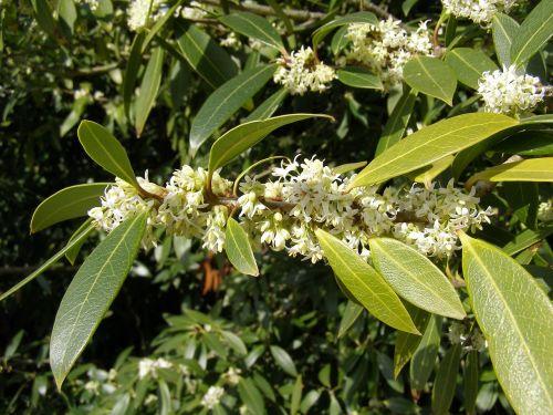 osmanthus autumn plant